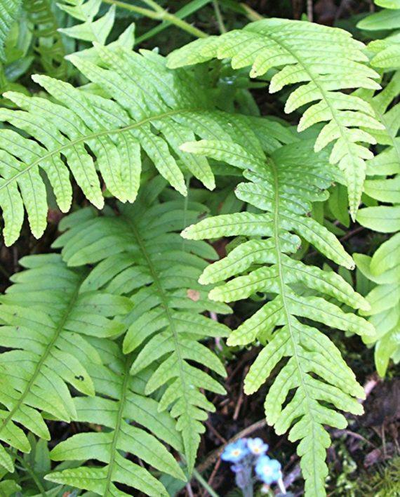 polypodium-vulgare